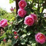 """Bí quyết trồng hoa hồng  ban công  """"hợp lý"""""""