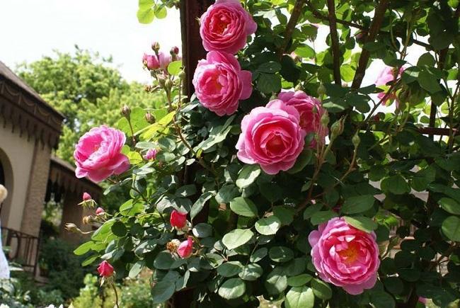 Trồng hoa hồng ngoại
